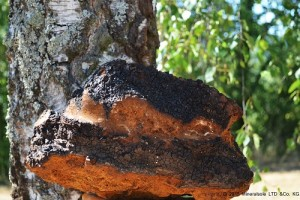 Chaga-Pilz: Ur-Heilkraft aus frostiger Taiga