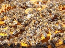 Das Beste im Bienenstock: Propolis