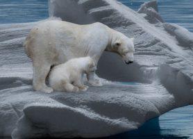 Eisbärenpopulation steigt!